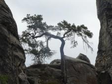 hádanka: Kde roste tento strom?